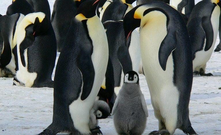 Dziś Światowy Dzień Wiedzy o Pingwinach!