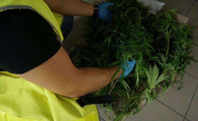 W piecu marihuana, w ogródku konopie