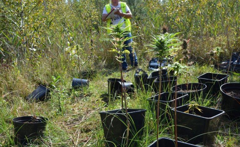 Blisko 200 krzewów konopi w lesie