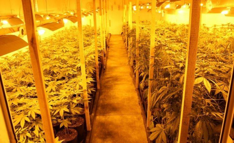 Zamiast zagranicznej firmy plantacja marihuany