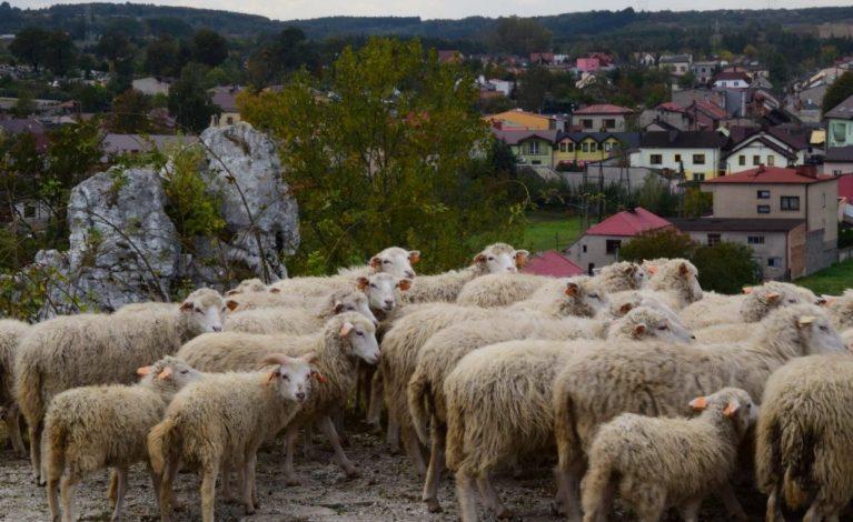 Owce przy Górze Szwejcera w Mstowie