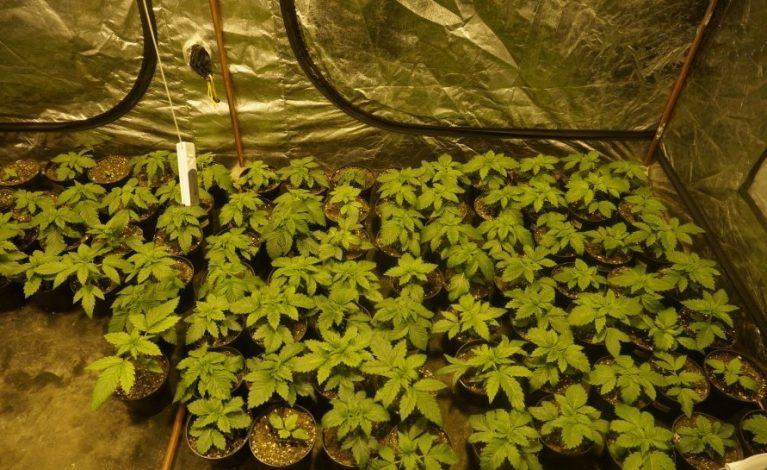 Przejęli 11 kilogramów marihuany