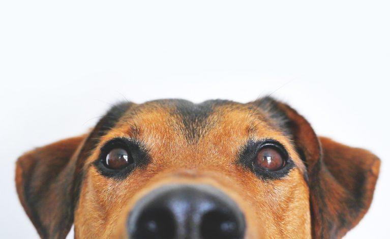 Odpowiednio wytrenowane psy mogą wykrywać COVID-19